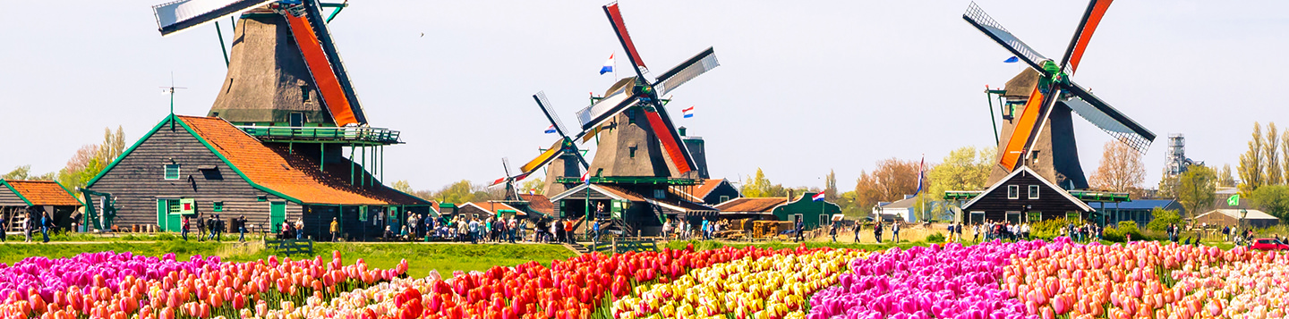 Learn Dutch with Rosetta Stone. 3 colorful windmills with tulip fields in the foreground.