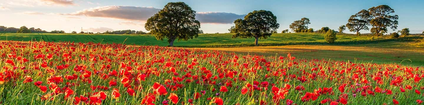 tulip field header of Rosetta Stone French Love Words page