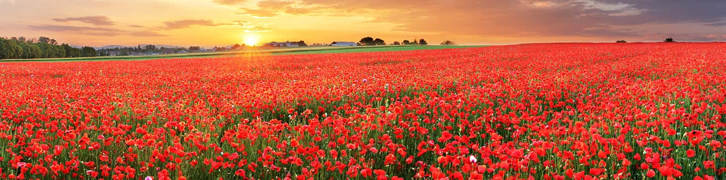 red Tulipa Sprengeri field with sunset as header of French Words for Of page
